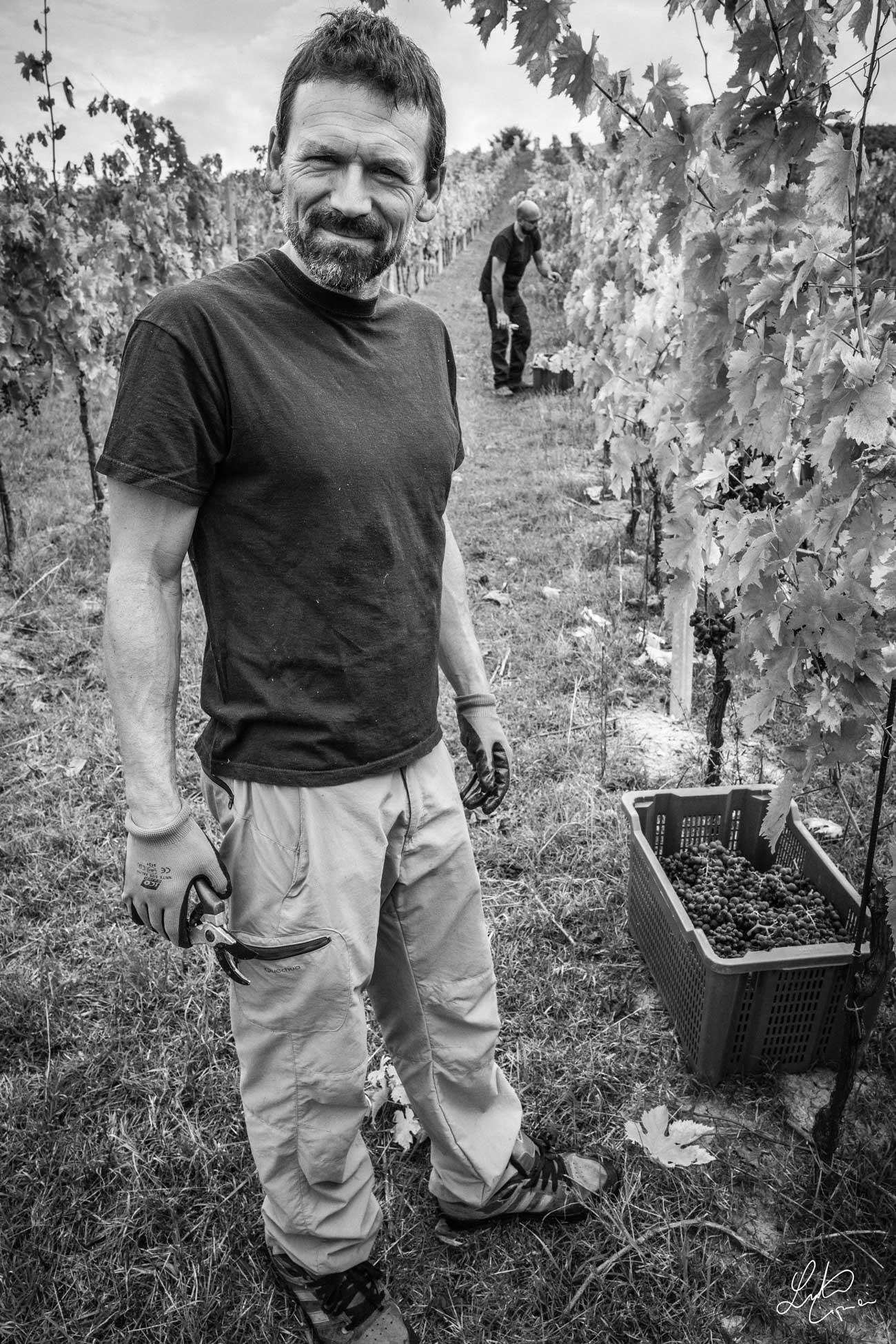 uomo raccoglie uva