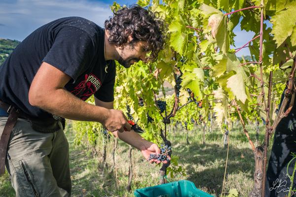 Paolo raccoglie uva