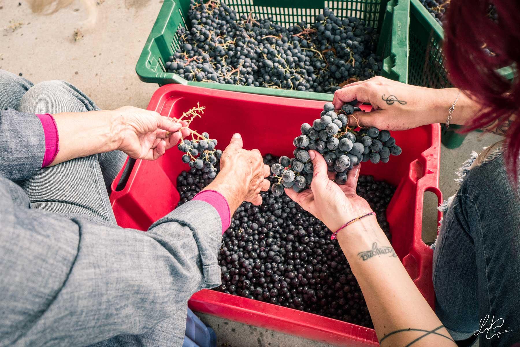 taglio rami uva Montepulciano