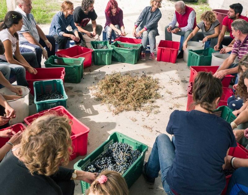 raccolta uva vitigno Montepulciano